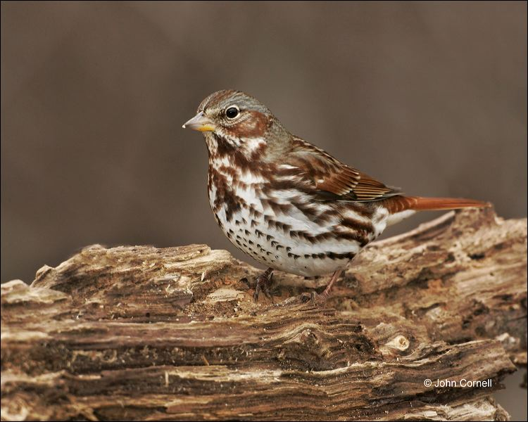 Fox-Sparrow;Sparrow;Passerella-iliaca;one-animal;close_up;color-image;nobody;pho